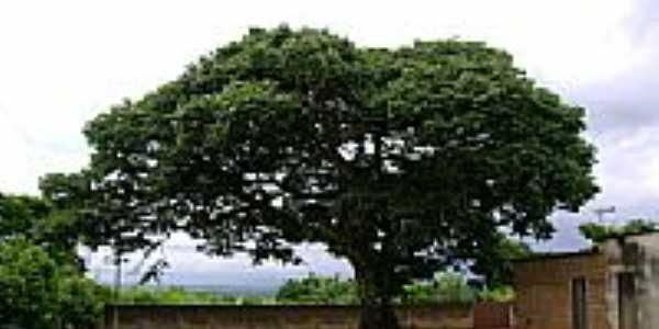 Jatobá-Foto:Nilson Gregorio [Panoramio]