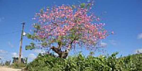 Barrigueira florida-Foto:cbrunominas