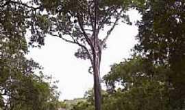 Goianá - Árvore de Pau Brasil em Goianá-Foto:Raymundo P Netto