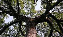Lambari - Lambarí-MG-Jequitibá Caririana no Parque Estadual de Nova Baden-Foto:Vinícius Antonio de Oliveira Dittrich
