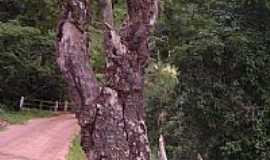 Lima Duarte - Árvore Centenária em Lima Duarte-MG-Foto:rosana4