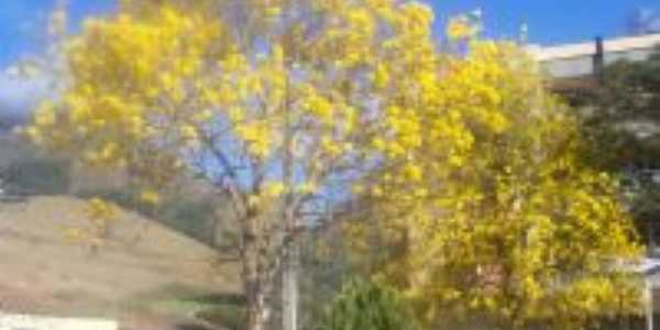 ipes floridos na praça da cidade ipê amarelo, Por Roberto Pacheco