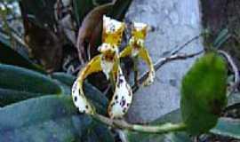 Mirantão - Orquídea