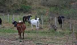 Missionário - Gado no pasto-Foto: