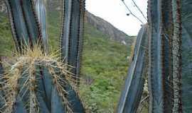 Monte Azul - Monte Azul-MG-Mandacarus no alto da Serra do Espinhaço-Foto:Edivaldo Fernando dos Anjos