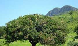 Monte Azul - Monte Azul-MG-Umbuzeiro, árvore típica do norte de Minas-Foto:Edivaldo Fernando dos Anjos