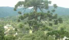 Monte Verde - as araucárias !, Por Sebastião e Roseli