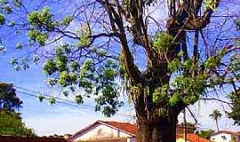 Paracatu - Paracatu-MG-Árvore centenária no meio da rua-Foto:Carlos Alberto Alves
