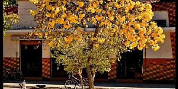 Gonçalves-MG-Ipê amarelo no centro da cidade-Foto:AntonioVidalphotography