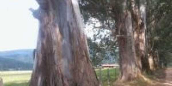 Lindas árvores em Pedralva-Foto:sheila faria