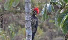 Santa Luzia - Pica pau do topete vermelho em Santa Luzia-Foto:guardiaodocerrado [Panoramio]