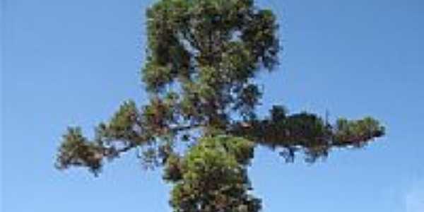 Araucária em Santana de Caldas-Foto:ostransfers