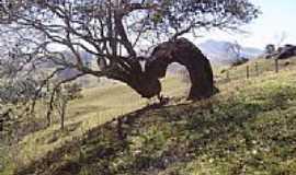 São Bento de Caldas - Árvore retorcida em São Bento de Caldas-Foto:mfmonteiro