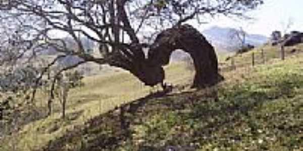 Árvore retorcida em São Bento de Caldas-Foto:mfmonteiro