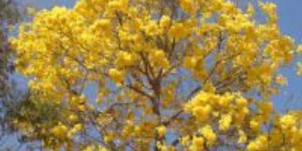 Ipê Amarelo - símbolo nacional., Por AROMA Cyber Café