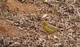 Silvianópolis - Pássaros de Minas em Silvianópolis-MG-Foto:Mahea