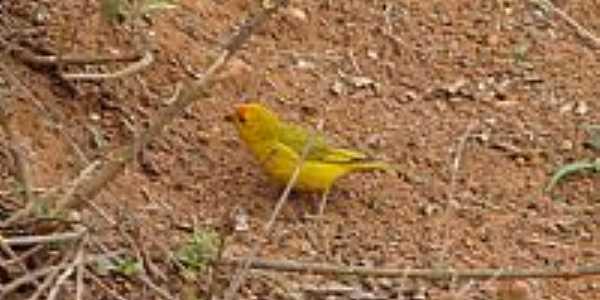 Pássaros de Minas em Silvianópolis-MG-Foto:Mahea