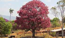 Vargem Bonita - Vargem Bonita-MG-Linda Sapucaia com folhas novas ainda vermelhas -Foto:Altemiro Olinto Cristo