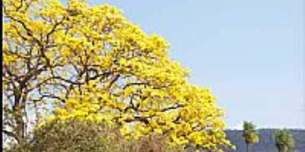 Ipê Amarelo na Baia de Albuquerque-MS-Foto:Nerone Maiolino