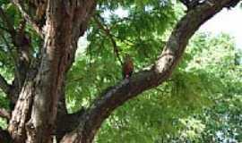 Angélica - Árvore do alojamento-Foto:mjatti [Panoramio]