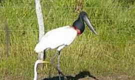 Aquidauana - Tuiuiu,ave símbolo do Pantanal-Foto:Altemiro Olinto Cris…[Panoramio]