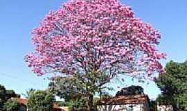 Bataguassu - Ipê rosa na Av.Cuiabá-Foto:marcioromanini