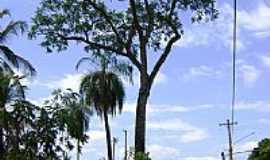 Coxim - P� de cedro do Zacaria Mour�o hist�rico em Coxim-Foto:Hermes Peixoto [Panoramio]