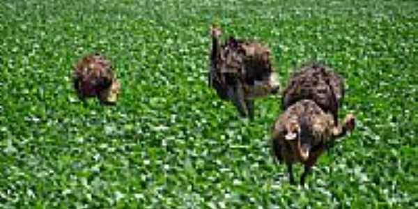 Emas em Cruzaltina-Foto:Arthur HBrito