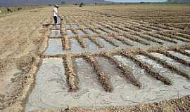 Bem-Bom - Bem Bom-BA-Interessante plantio de cebolas-Foto:Gildesio Barbosa