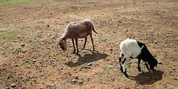 Bem Bom-BA-Cabras na beira do rio-Foto:Gildesio Barbosa