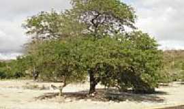Bendegó - Árvore às margens da Rodovia BR-235 em Bendegó-Foto:Adriano_Rodrigo