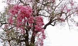 Itaporã - Paineira florida em área rural de Itaporã-MS-Foto:Paulo Yuji Takarada