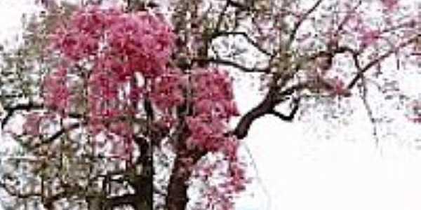 Paineira florida em área rural de Itaporã-MS-Foto:Paulo Yuji Takarada