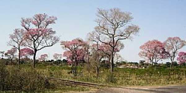 Miranda-MS-Ypês na linha férrea-Foto:André Bonacin
