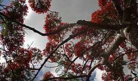 Ponta Porã - Ponta Porã-MS-Lindo Flamboyant-Foto:Paulo Yuji Takarada