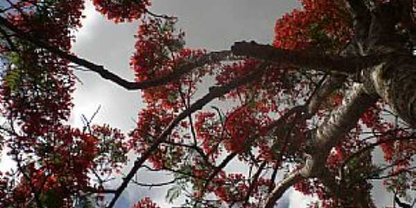 Ponta Porã-MS-Lindo Flamboyant-Foto:Paulo Yuji Takarada