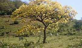 Sidrolândia - Ipê florido em área rural em Sidrolândia-Foto:Valmor Luiz Adona