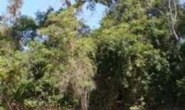 Canarana - Canarana - MT - Arvores Centenarias, Por sergio