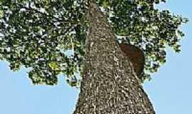 Castanheira - Árvore castanheira-Foto:Vizioli