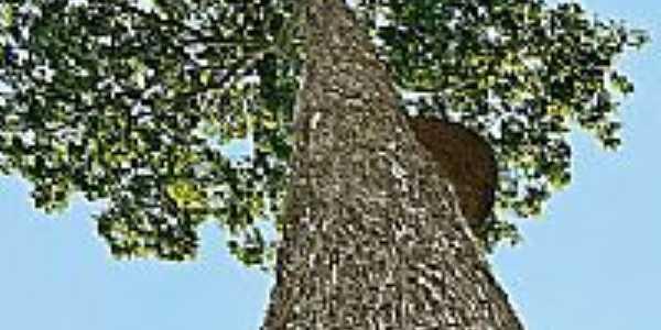 Árvore castanheira-Foto:Vizioli