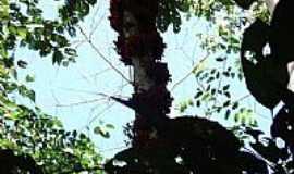Guarantã do Norte - Guarantã do Norte-MT-Cacaueiro(Theobroma cacao) em flôr-Foto:João Henrique Rosa