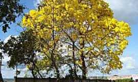 Guarantã do Norte - Guarantã do Norte-MT-Ipê amarelo florido-Foto:Gal dos Anjos