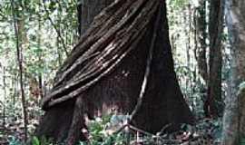 Guarant� do Norte - Guarant� do Norte-MT-Tipo bastante comum de Cip� Amaz�nico-Foto:Jo�o Henrique Rosa