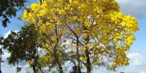 Ipê  Amarelo Guarantã do norte, Por Bruno Nunes