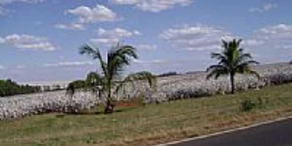 Plantação de algodão por Cássio Fernandes