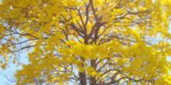Ipê Amarelo, Por arlene de souza oliveira
