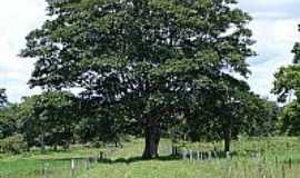 São Lourenço de Fátima - São Lourenço de Fátima-MT-Árvore em área rural-Foto:Leandro A lluciano
