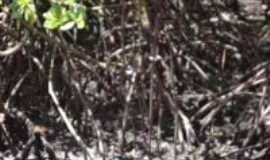 Cacha Pregos - Manguezal, onde tem muito Caranguejo, Por Flávia Santos