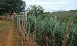 Caculé - Caculé-BA-Plantação de Palma-Foto:Rafael José Rorato