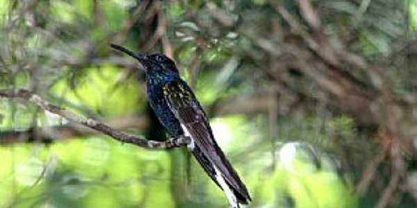 Bonito-PA-Colibri no Bonito Nemzeti Park-Foto:Sugár Nagy